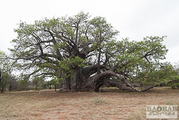 Sagole Big Tree, Regenzeit