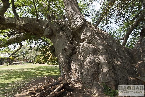 Sunland Baobab, Detailansicht