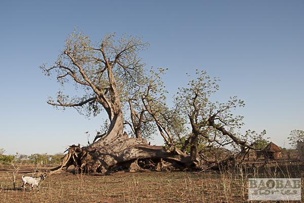 Baobab um Chiswiti, Mount Darwin, Simbabwe