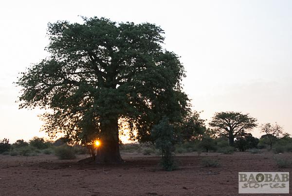 Baobab im Sonnenuntergang