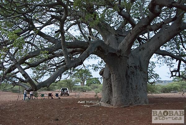 Sundowner bei Baobabs