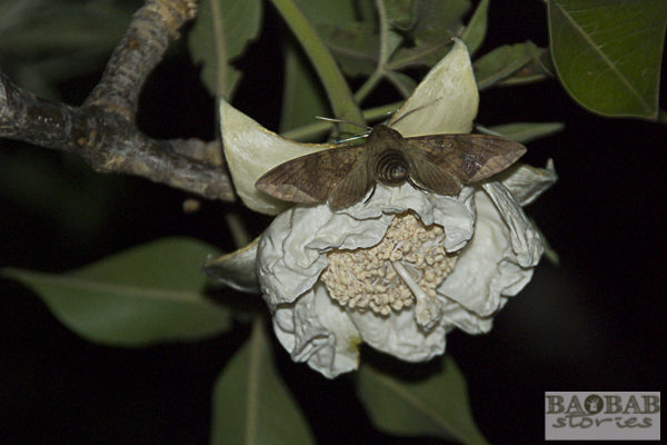 Schwärmer an Baobab Blüte