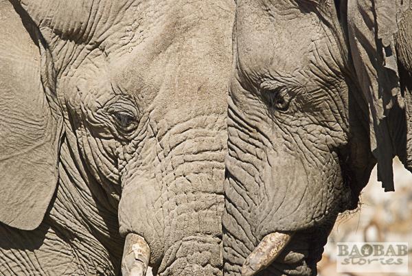 Elefanten, Etoscha Nationalpark, Namibia