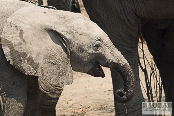 Elefantenbaby, Liwonde NP, Malawi