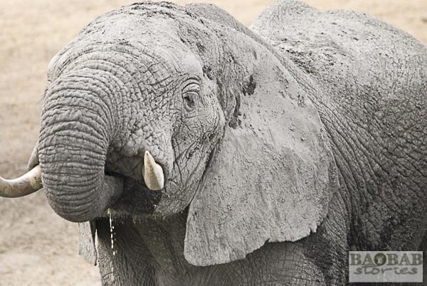 Elefant, Krüger NP, Südafrika