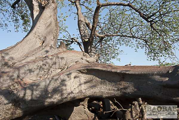 """Baobab mit """"Sonnenrötung"""" auf der Oberseite der Äste"""