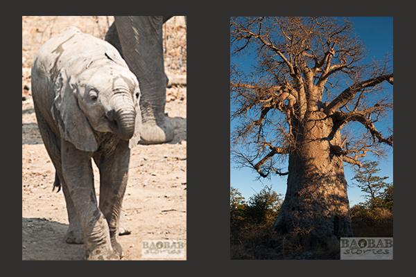 Elefant und Baobab