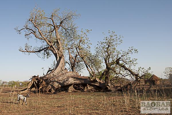 Baobab, Mt Darwin