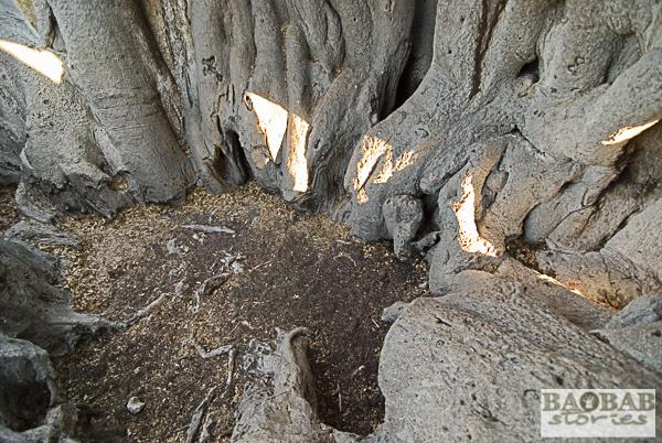Innenraum, alter Baobab