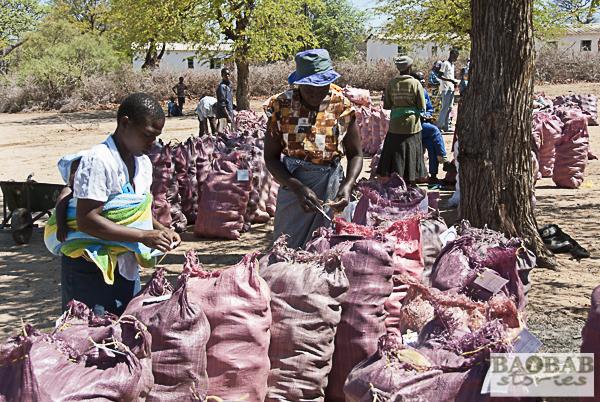 Baobabsammelstelle, bei Masvingo, Simbabwe