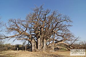 Sagole Big Tree, Südafrika, Heike Pander