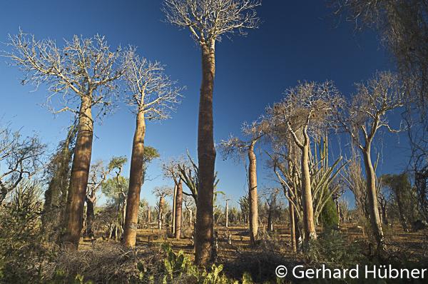 Baobabs im Dornwald, Ifaty, Gerhard Hübner