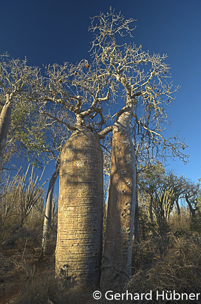 Baobabs bei Ifaty, Gerhard Hübner