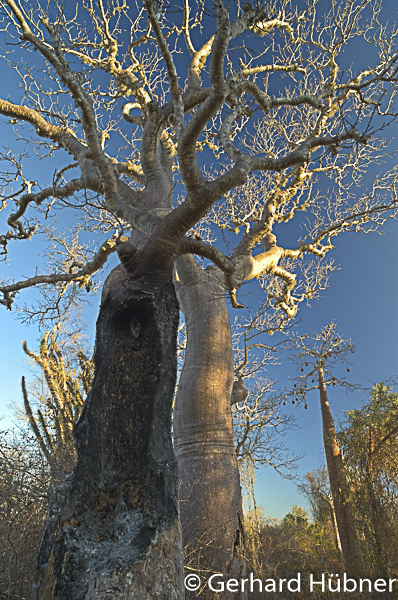 Baobab bei Ifaty, Gerhard Hübner