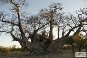 Baobab_PirateShip_Tsumkwe