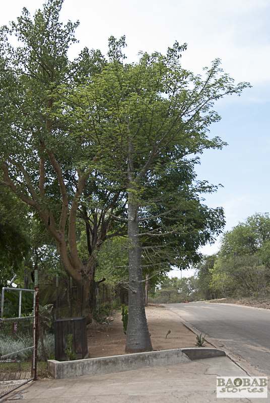 Baobab, Skukuza, Krüger NP, Südafrika
