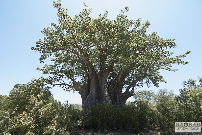 Baobab südlich von Satara, Krüger NP, Südafrika