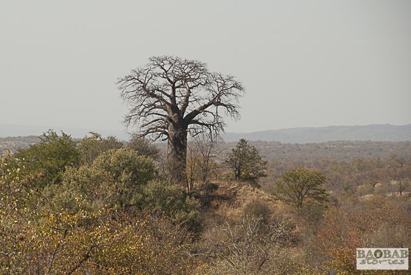 Baobab Hill, Krüger Nationalpark, Südafrika