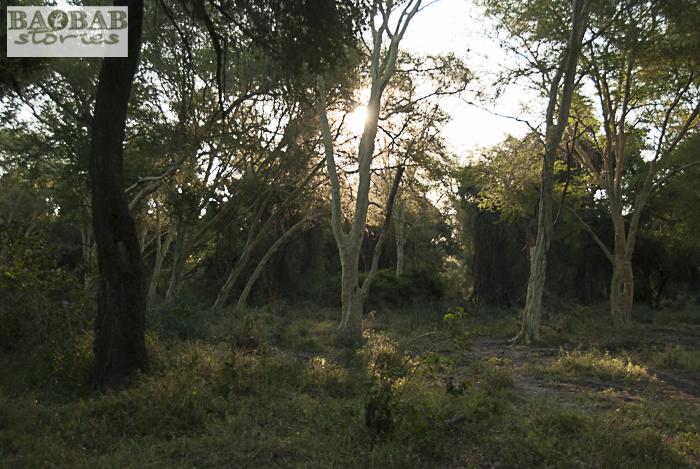 Fieberbaumwald, Makuleke Concession, Südafrika