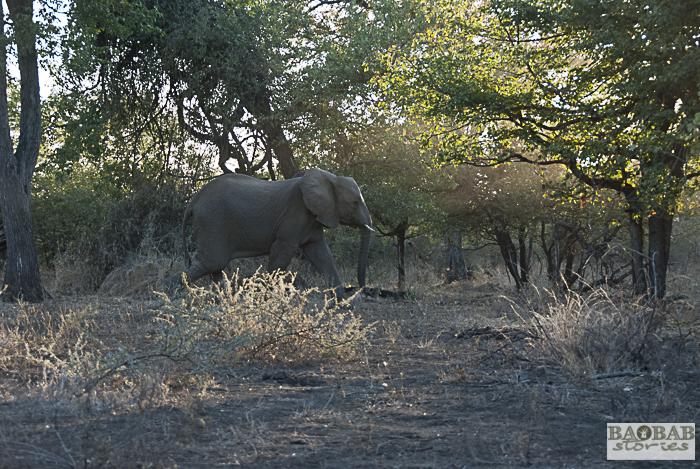Elefant, Makuleke, Südafrika