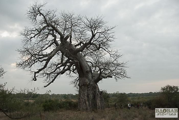 Baobab, Makuleke, Südafrika