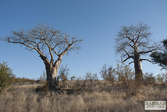 Baobabs, Makuleke, Südafrika