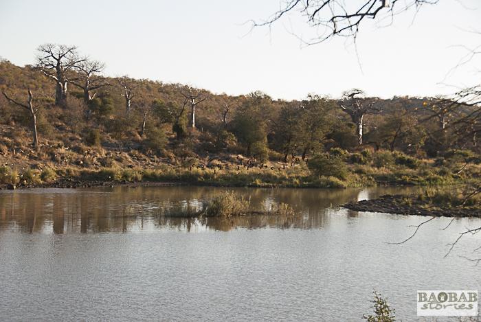 Baobabs am Hippo Damm, Makuleke, Südafrika