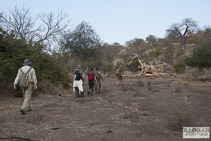Wanderung, abgestorbener Baobab, Makuleke, Südafrika
