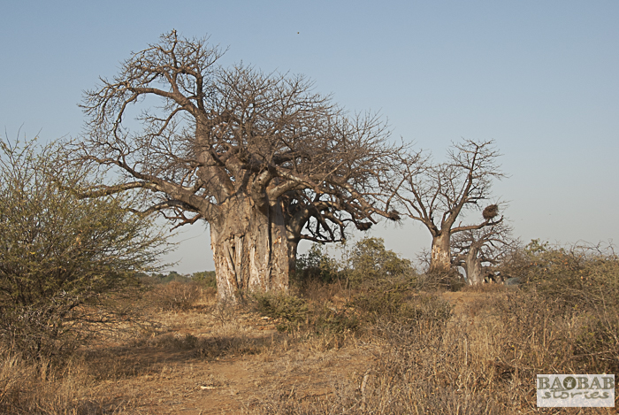 Baobabs, Makuleke Concession, Südafrika