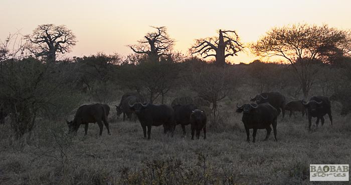Baobabs und Büffel, Abendstimmung, Makuleke, Südafrika