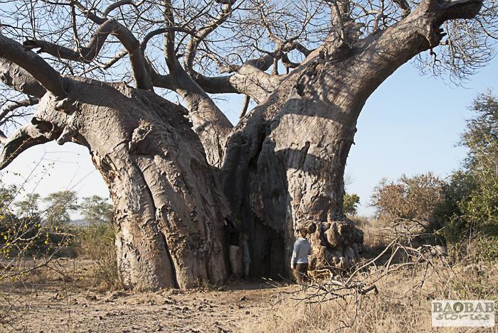 Uralter Baobab, Makuleke, Südafrika