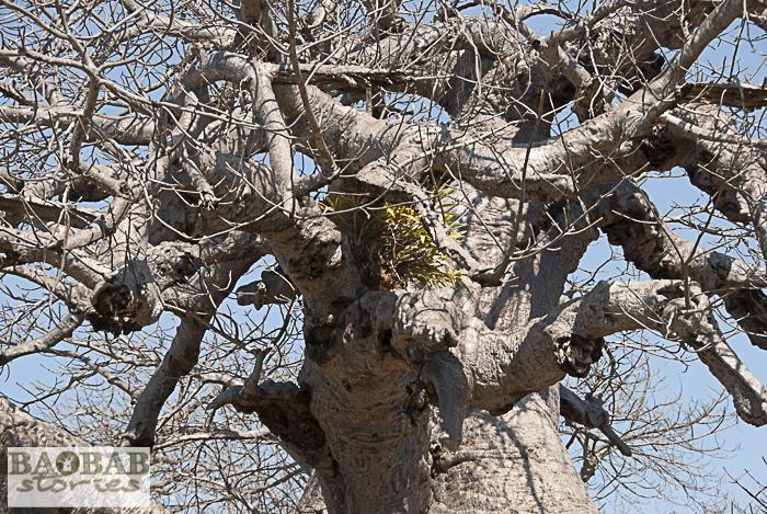 Baobab Ökosystem: Orchidee im Baobab, Makuleke, Südafrika