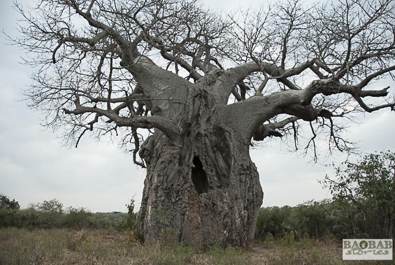 Baobab, Makuleke Concession, Südafrika