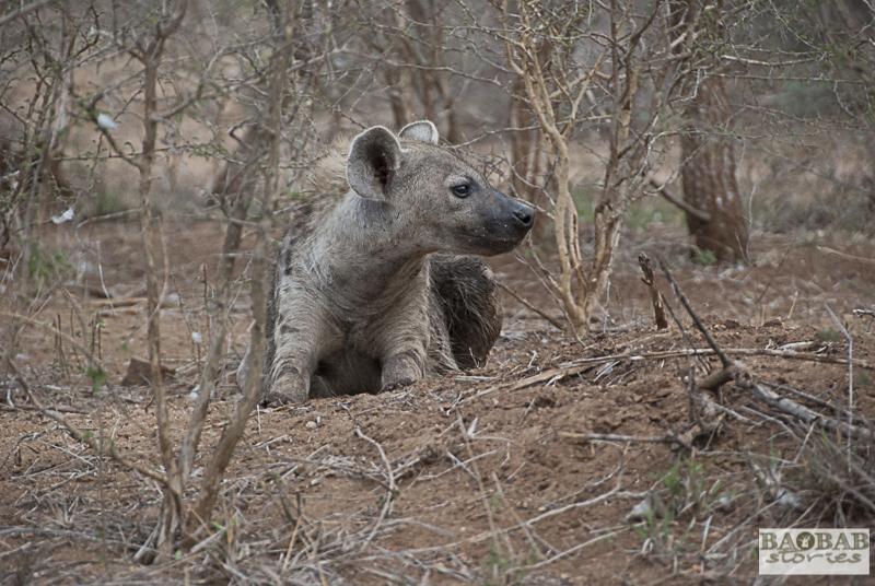 Hyäne, Krüger Nationalpark, Südafrika