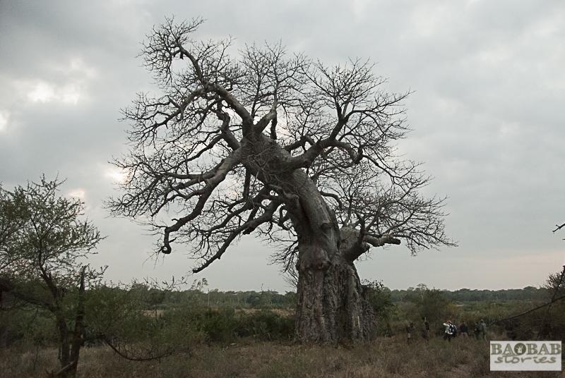 Baobab, Makuleke, Suedafrika