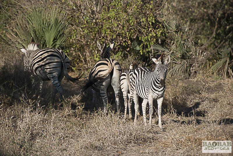 Zebras, Makuleke, Südafrika