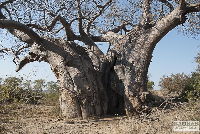 Alter Baobab, Makuleke Concession, Südafrika