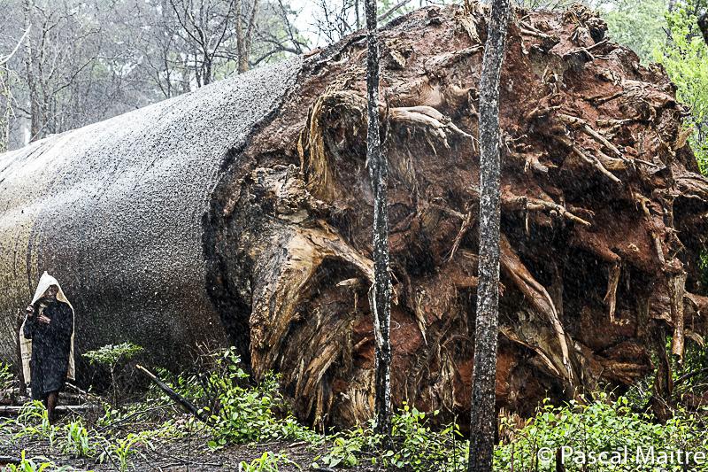 """Während eines Zyklons umgefallener Baobab, in der Ausstellung """"Baobab der Zauberbaum im NHM, Wien, Pascal Maître"""