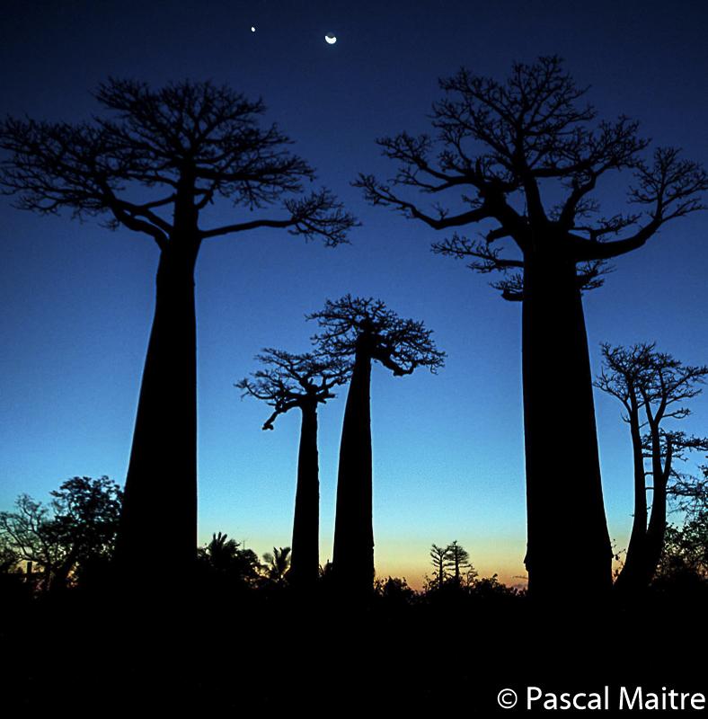 Baobabs in der Dämmerung, Madagaskar, Pascal Stimmungsvolle Abendstimmung, Baobab - der Zauberbaum, Pascal Maître