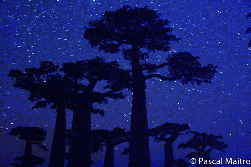 """Die Allée der Baobabs in Morondava bei Nacht, Während eines Zyklons umgefallener Baobab, in der Ausstellung """"Baobab der Zauberbaum im NHM, Wien, Pascal Maître"""