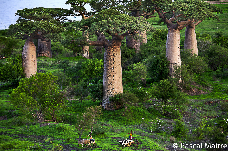 "Ampanonga Baobabam Fluß Mangoky, in der Ausstellung ""Baobab der Zauberbaum im NHM, Wien, Pascal Maître"