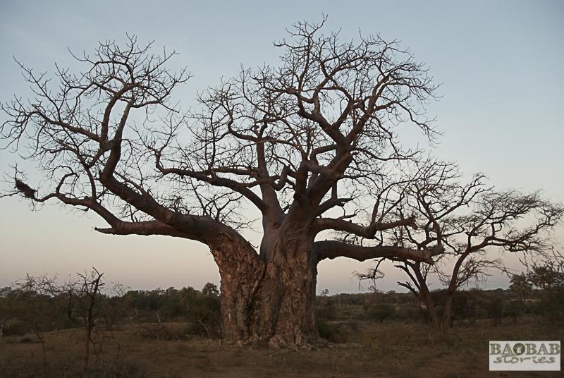 Baobab_Makuleke