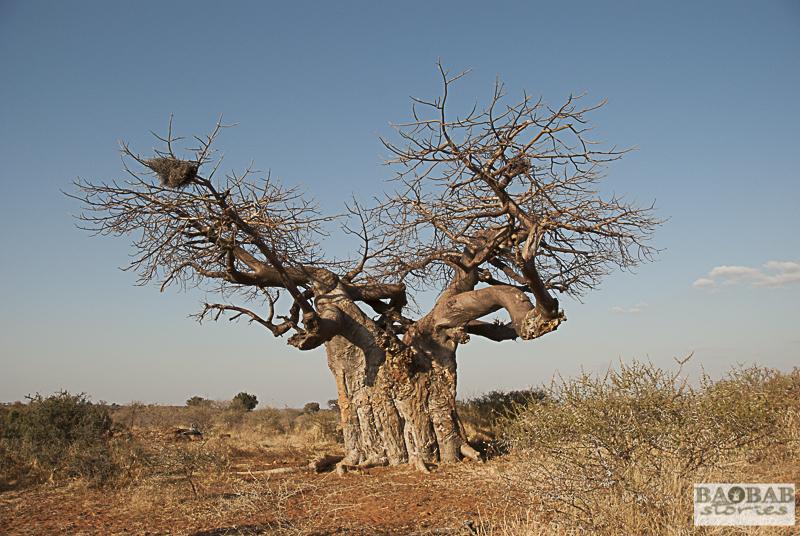 Baobab, Mashatu, Botswana