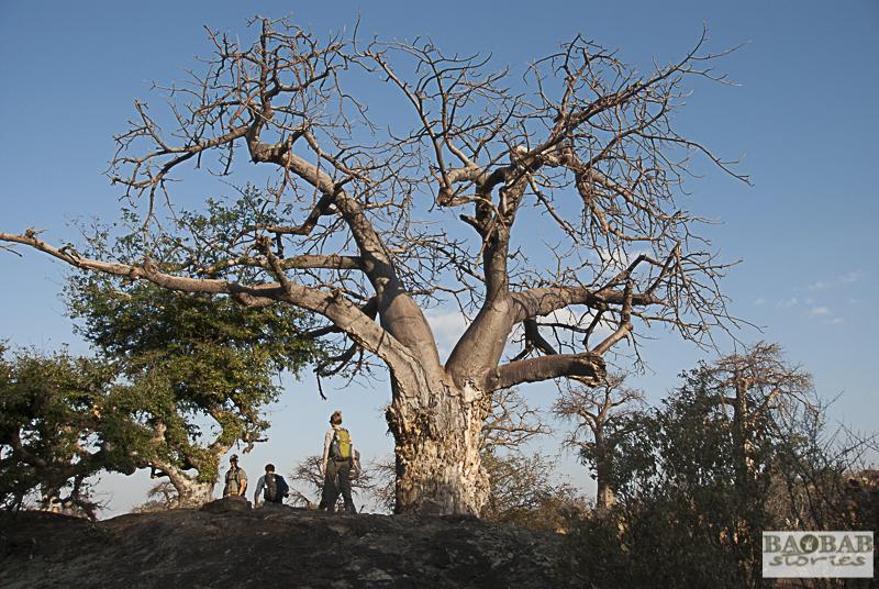 Auf dem Weg zur Baobab Allee, Mashatu, Botswana