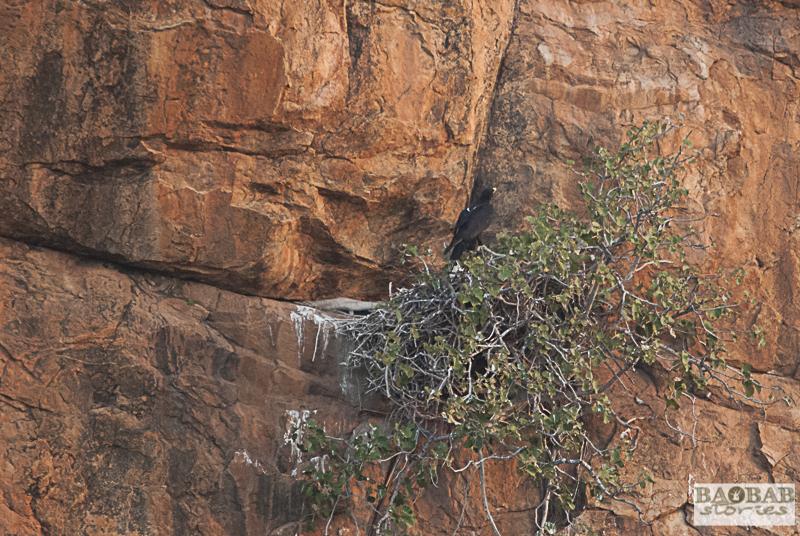 Verreaux Eagle am Nest, Mashatu, Botswana