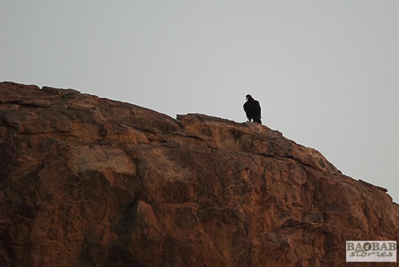 Verreaux Eagle, Mashatu, Botswana