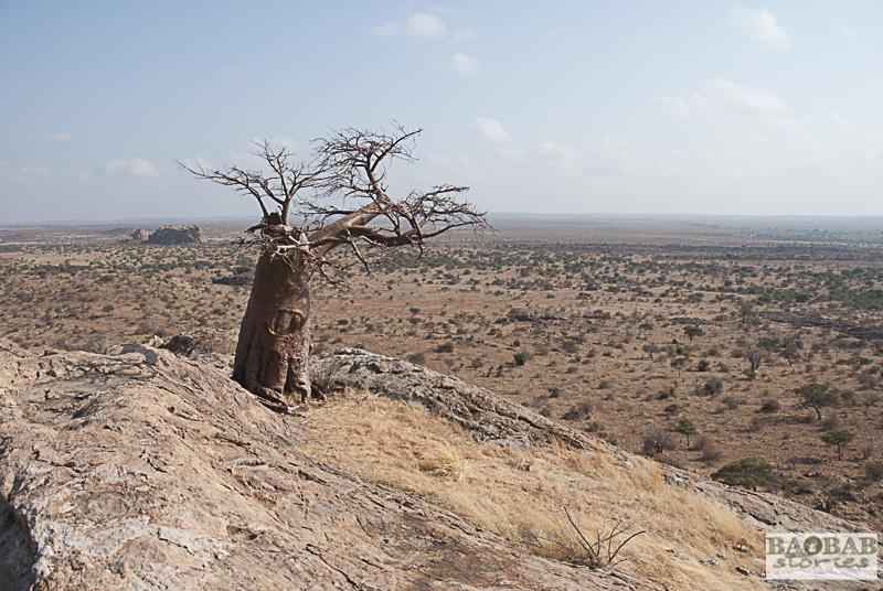 Rhodes Baobab, Mashatu, Botswana