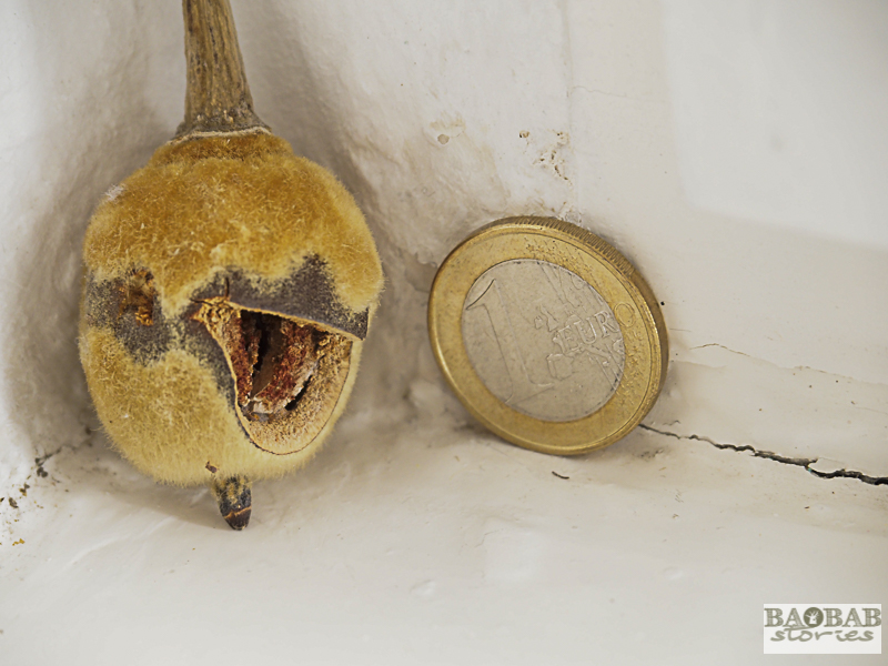 Baobab Deko: winzige Baobab Frucht