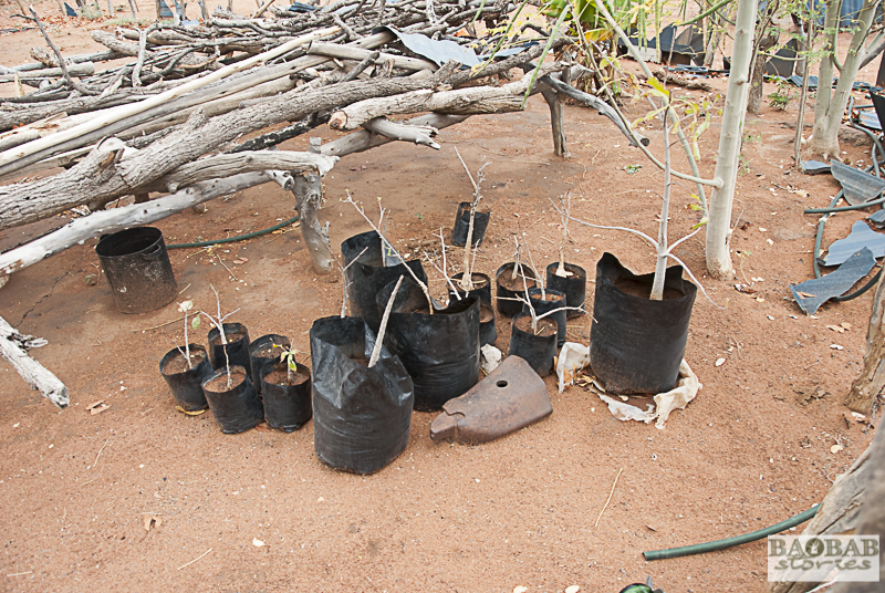 Kleine Baobabs warten auf das Auspflanzen