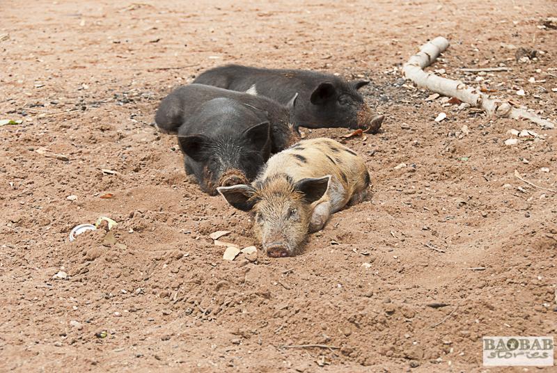 Schweine dösen in der Mittagshitze, Zwigodini